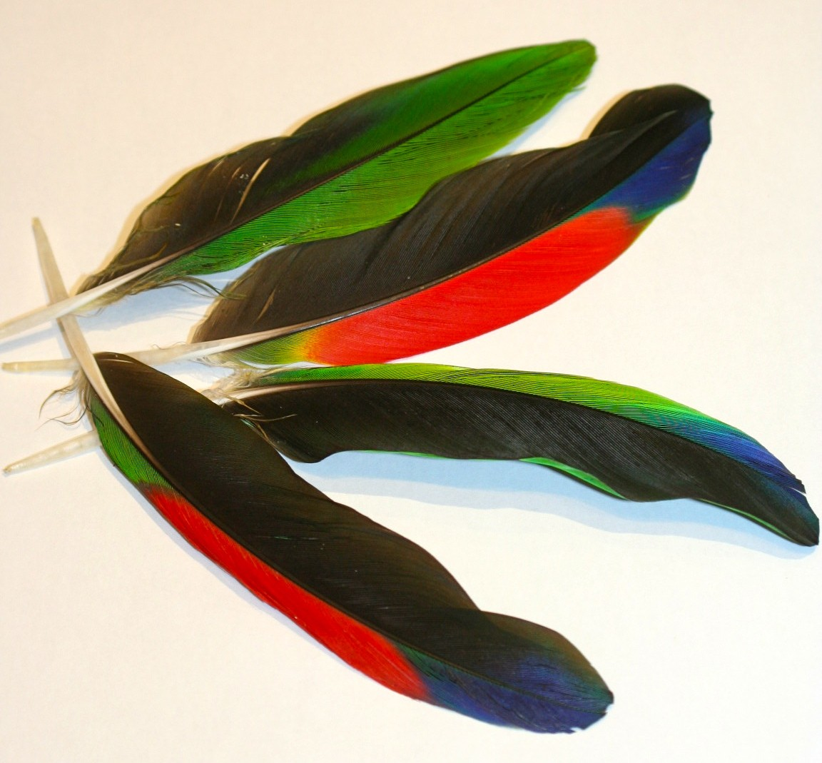 Parrot feathers - photo#3