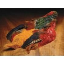 Golden Pheasant Skin